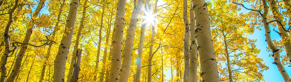 Golden_Sun_Aspens_SF